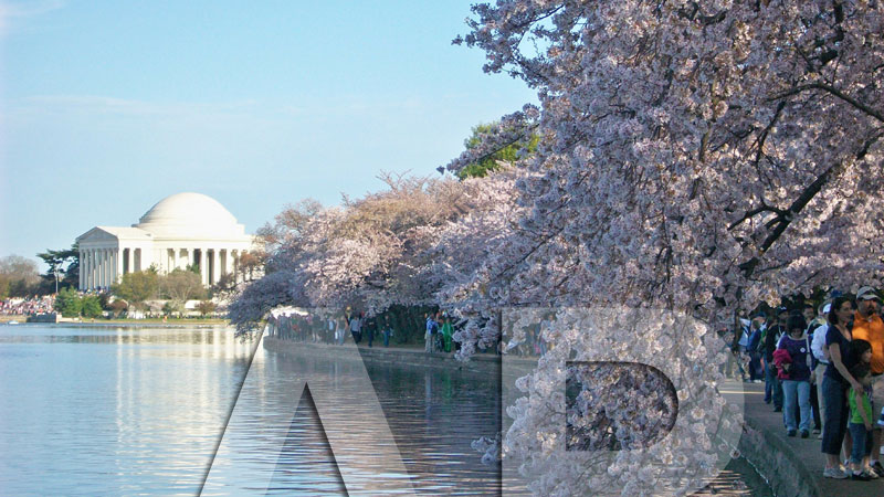 National Cherry Blossom Festival 2013 - Mar 20 to Apr 14 - Picture 2